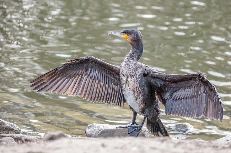 Kormoran / Young Cormorant (Sigrun  Brüggenthies / Dortmund / Deutschland) #Canon EOS 5DS #animals #photo #nature