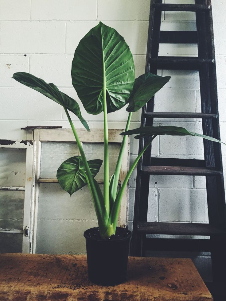 A beautiful tropical indoor plant with broad leaves resembling the ear of an elephant.