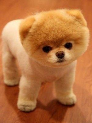 pomerania razas de perros pequeños