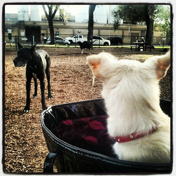Puppy watching from mom's handbag at Coronado Dog Park - Albuquerque, NM - Angus Off-Leash #dogs #puppies #cutedogs #dogparks #albuquerque #newmexico #angusoffleash