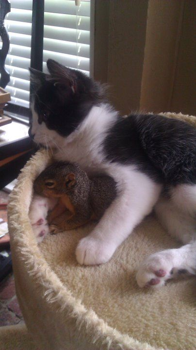 A little squirrel entered this person's house repeatedly through the dog door, then cuddled up with their cat. :)