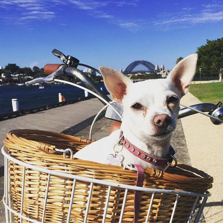 Making the most of the last summery weather! Barked at every dog I saw on my way! #fashiondogsydney #fashiondog #chihuahua #chihuahualove #chihuahuafanatics #chihuahualover #chihuahualife #chihuahuas #pyrmont #stfrock #pets#dogs#cats#birds#rabbits#lovablepets