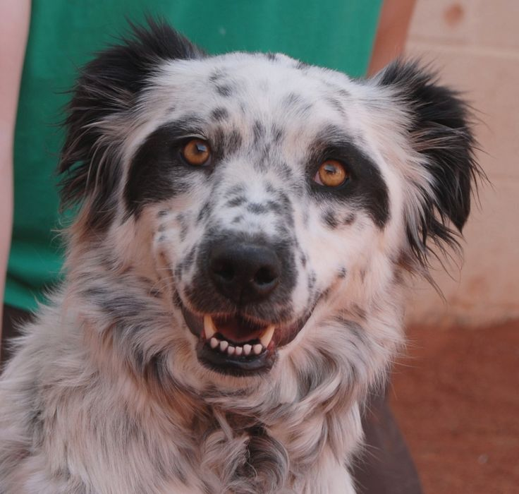 Maggie, a young abuse survivor, is concerned everyone she meets might hurt her. But she wants to believe in people, and she relaxes and smiles once she realizes you intend her no harm. Maggie is a beautiful Border Collie mix, 2 years of age and spayed, good with other dogs, and debuting for adoption today at Nevada SPCA (www.nevadaspca.org). We rescued Maggie from another shelter that asked for our help. Please ensure she feels secure and never knows human evil again.