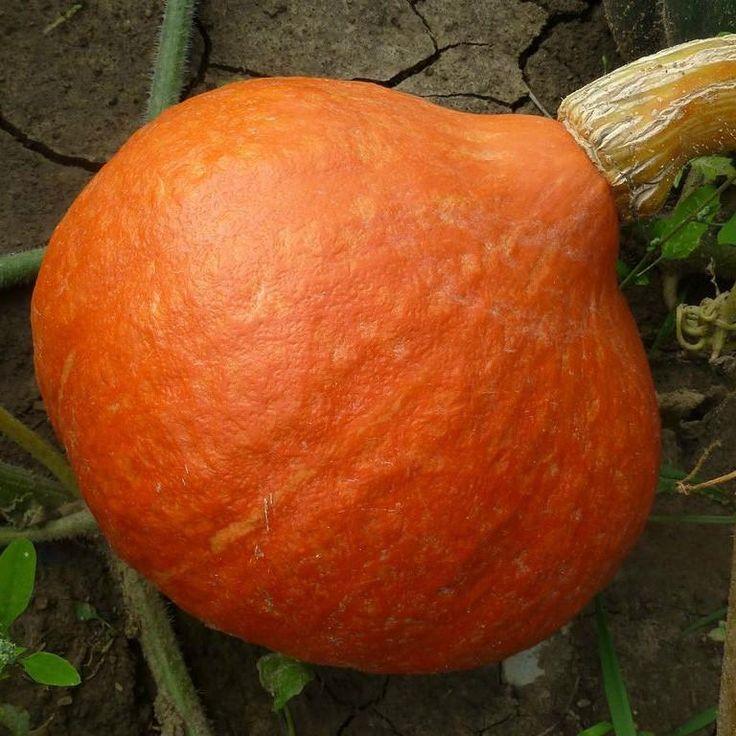 Red Kuri Squash (Hokkaido) Seeds + FREE Bonus 6 Variety Seed Pack - a $30 Value!