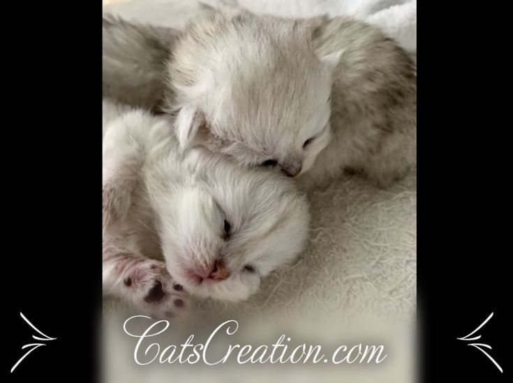 Teacup Kittens In 2020 Teacup Kitten Teacup Kittens For Sale Kitten Breeds