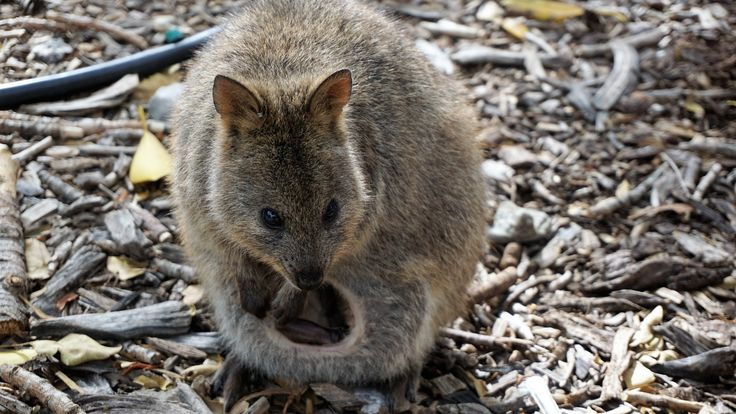 DSC - The Qakka's are native to Rottnest Island and they are so friendly.  They come up to you with a look that says 'can you pat me please'