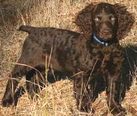 Boykin Spaniel: Training Tips For Boykin Spaniel Dog Breeds