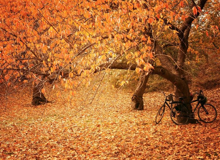 New York City - Autumn - Central Park - Fall foliage and bicycles.