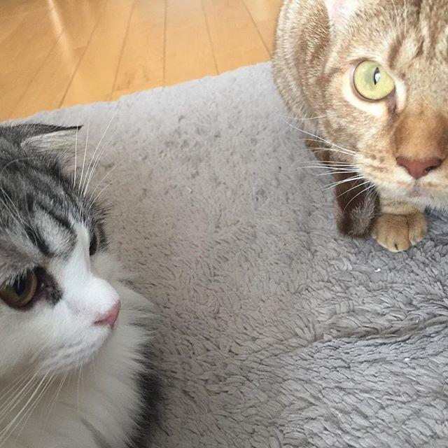 #猫 #cat #고양이 #子猫 #kitty #kitten #새끼고양이 #スコティッシュフォールド #scottishfold #ぽて #pote #포테 #オシキャット #ocicat #こまめ #komame #코마메 #愛猫
