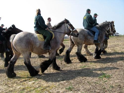 Brabantse trekpaarden op de eeuwenoude paardenprocessie te Hakendover (Tienen)