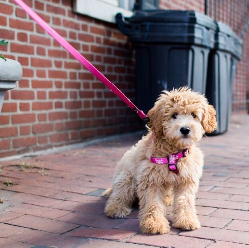 "thedogist: "" Lucy, Miniature Goldendoodle (4 m/o), S 6th & Spruce St., Philadelphia, PA • ""She's scared."" """
