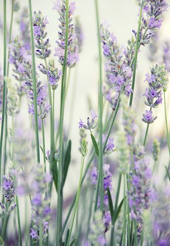 ridderspoor, duifkruid en lavendel voor in de tuin