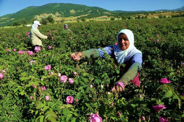 Zbiory płatków róży, które będą wykorzystywane do produkcji wody różanej. Isparta, Turcja. Fot. www.bik.gov.tr