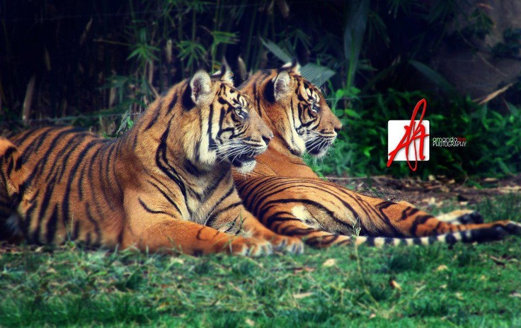 © Amandalee - ALAPhotography - Tigers <3