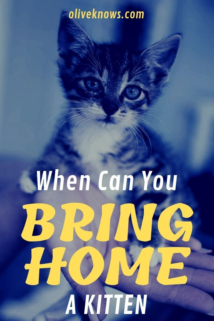 When Can You Bring Home A Kitten Cat Safety Kittens Pet Care Dogs
