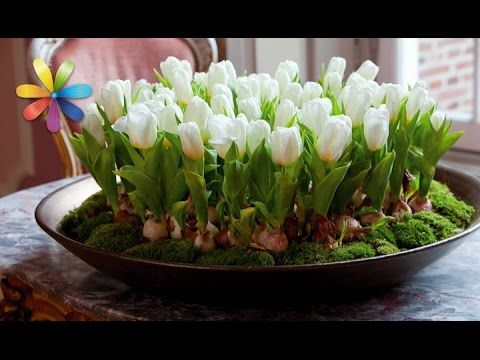 (49) Как вырастить тюльпаны к Новому году дома? – Все буде добре. Выпуск 901 от 24.10.16 - YouTube