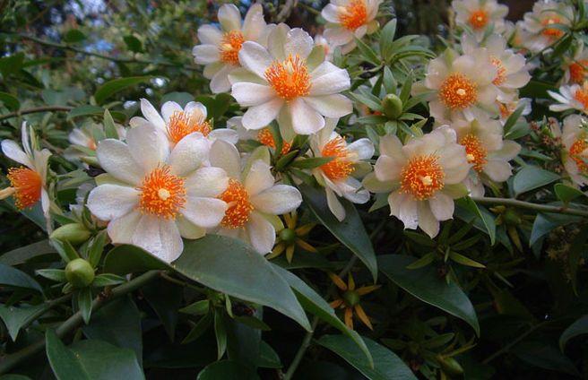 Ora-pro-Nóbis (Pereskia aculeata), comem-se folhas, flores e frutos. Na Malásia, é consumida como alimento anti-câncer de mama e outros tipos.