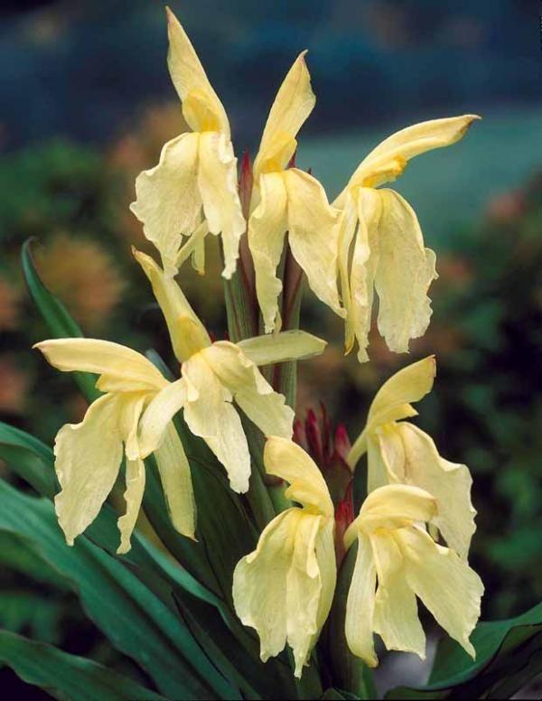 #Gingembre Orchidée jaune