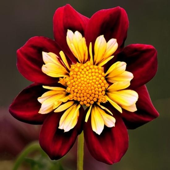 dahlia This is gorgeous.