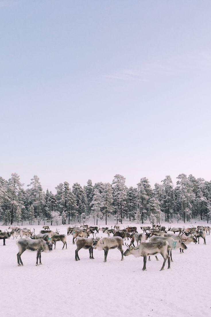 Reindeers in Finnish Lapland