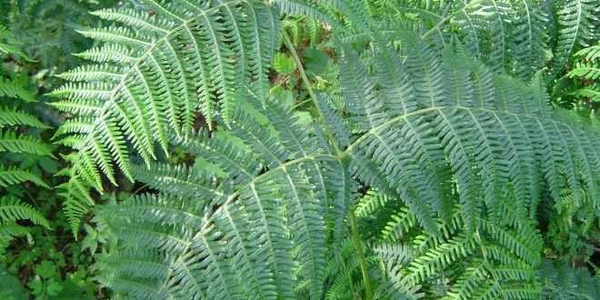 Le Felci - Quando le piante emersero dall'acqua Queste piante sono cormofite: sono costituite da un fusto, vere radici e foglie, e posseggono un sistema vascolare. Sono difatti le prime piante terrestri che hanno cominciato a differenziare un sist
