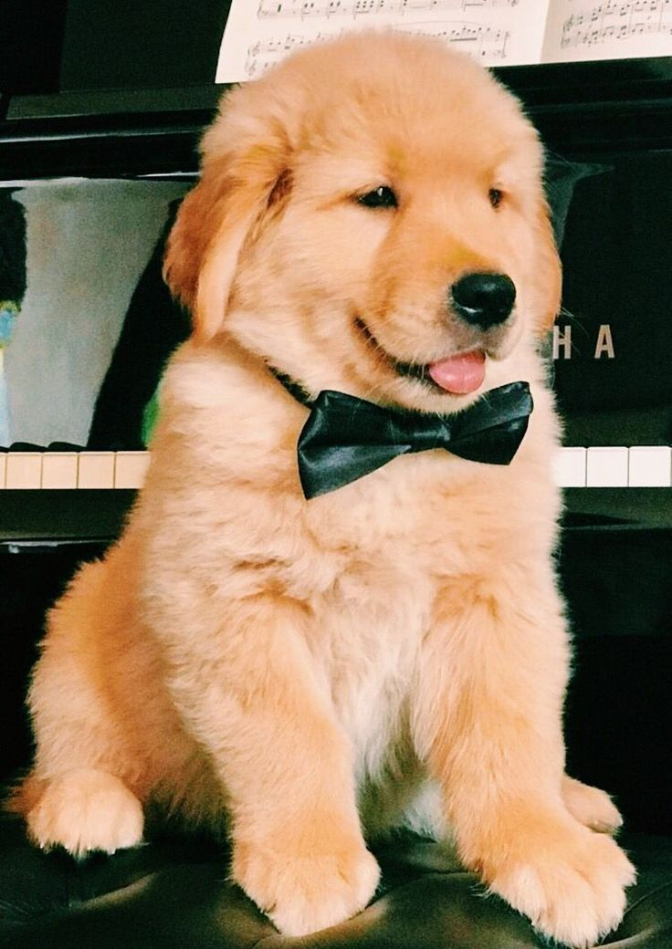 Adorable Golden Retrievers Puppy How Sweet It Is Aww