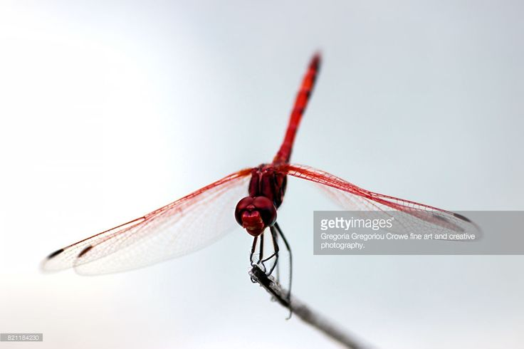 Close-up of dragonfly against white background.