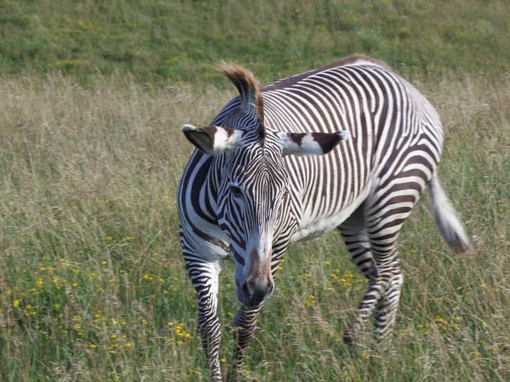 The Endangered Grevys Zebra