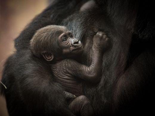 Western Lowland Gorilla JJ was born Sept. 28, 2016