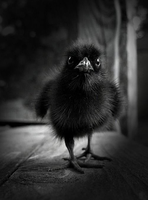 baby raven,  I've raised an orphan sparrow .. if I ever find an orphan who fell out of it's nest  again I hope it's a raven!