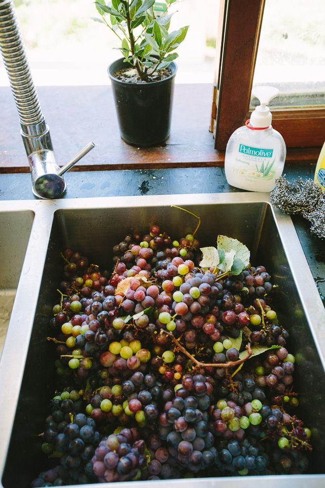 How to make homemade grape juice - muscat grapes ready for the Moût!