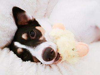 Jersey City, New Jersey - Rat Terrier. Meet Buddy the Elf, a for adoption. https://www.adoptapet.com/pet/19743360-jersey-city-new-jersey-rat-terrier-mix