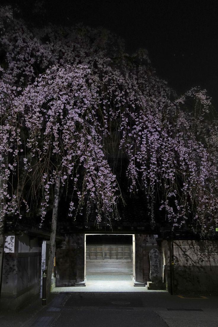 金沢市石引 慶恩寺の枝垂れ桜。2016年春