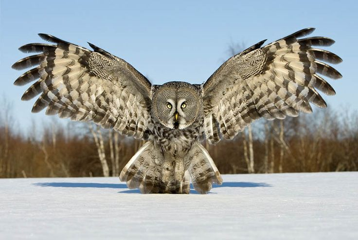Picture of the Day: The Great Grey Owl «TwistedSifter