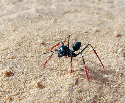 The work of Swiss Biologist Rudiger Wehner on desert ants has shown that they are able to count their steps. Wehner and his team proved this by attaching stilts to ants' legs. With the longer stride, ants overshot the distance to a food source. When their legs were shortened, they undershot it, proving they had a kind of inner pedometer keeping track of the number of steps. The ant species here is Cataglyphis fortis.