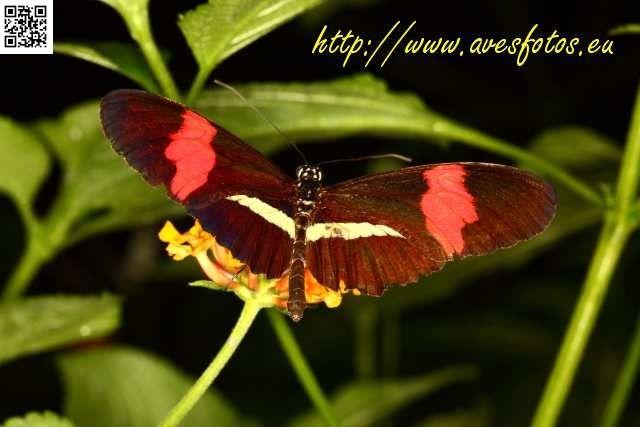 Insectos. Mariposa heliconius melpomene