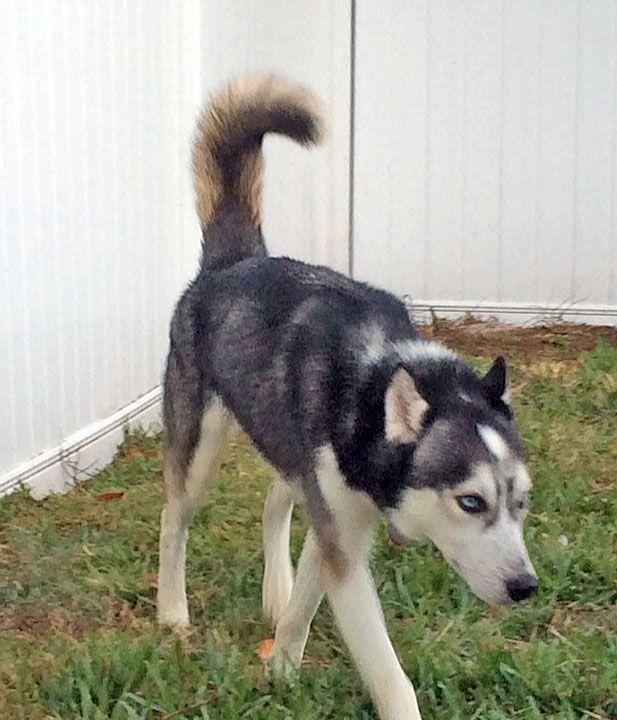 http://twitpic.com/dsv3xp Beautiful, but homeless, #Florida #Siberian #Huskies…
