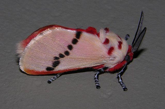 Moth that looks like a poodle has Internet abuzz (Bizarre photos ...