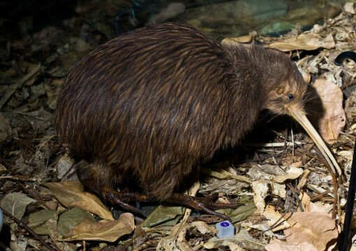 north island brown kiwi - Google Search