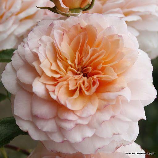 55 best kordes roses images on pinterest roses. Black Bedroom Furniture Sets. Home Design Ideas