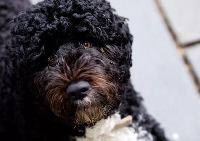 10 Best Large Dog Breeds That Don T Shed Large Dog Breeds Best