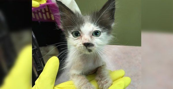 Woman Saves Sick Kitten That No One Wanted And Helps Her Heal And Regain Her Glorious Fluff Sick Kitten Sick Cat Kitten