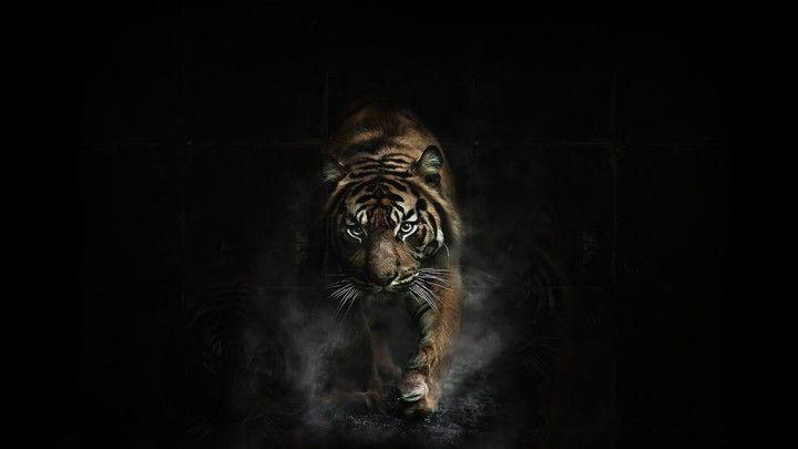 8k Animal Wallpaper Download: Tiger In Black Background