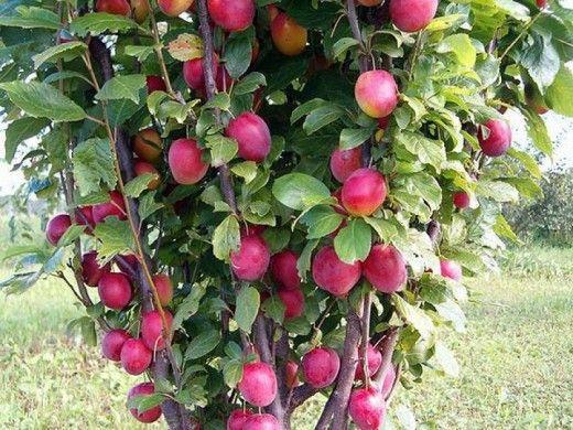 Колоновидные сливы  Продолжим тему колоновидных сортов плодовых деревьев. Вслед за яблонями, грушами несколько позже появились и колоновидные сорта слив. Это направление селекции оказалось очень успешным, сорта оказались плодовитыми и не особо требовательными в уходе. Поэтому они быстро завоевывают сердца садоводов, но и здесь есть свои секреты.