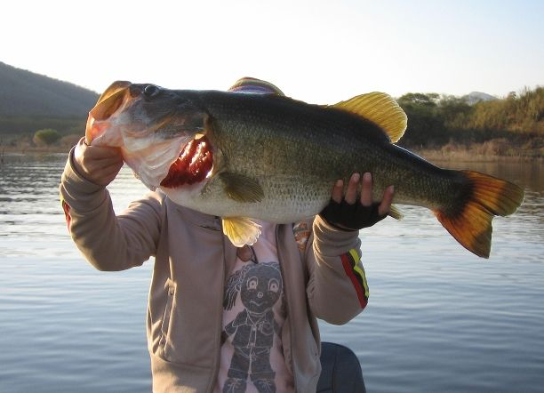 largemouth bass, may be the largest largemouth ever caught.