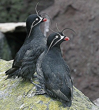 The cute Whiskered Auklet is restricted to remote islands in the middle of the North Pacific