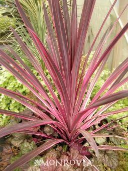 Pink Passion Dracaena Palm - Incredible, bold neon pink leaf margins and gray-purple centers make this a show-stopping specimen. Dramatic year-round foliage color makes this ideal for containers. Pairs sensationally with chartreuse or silver-hued Heucheras. Use as summer annual or overwinter indoors in cold climates. Evergreen perennial.