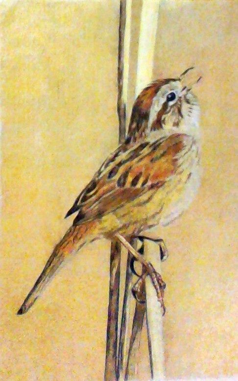 sparrow (Drawing by Michelle Nguyen)