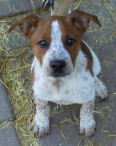 pit bull / australian cattle dog (blue heeler) from the Renville/Sibley County humane society