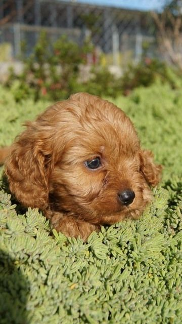 George as a cavoodle pup at Banksia Park Puppies.